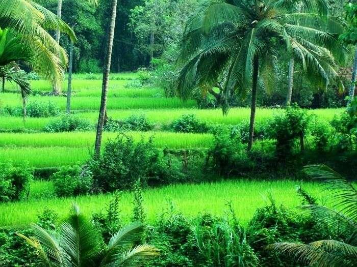 The verdant agricultural fields of Yana, Karnataka