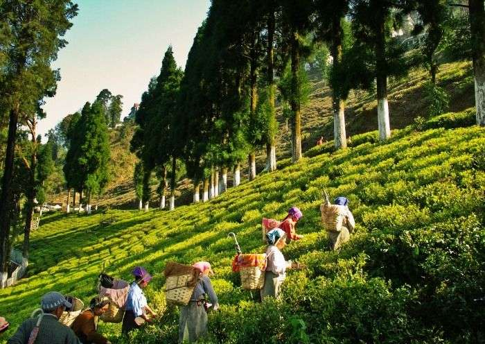Tea Plantation at Kurseong