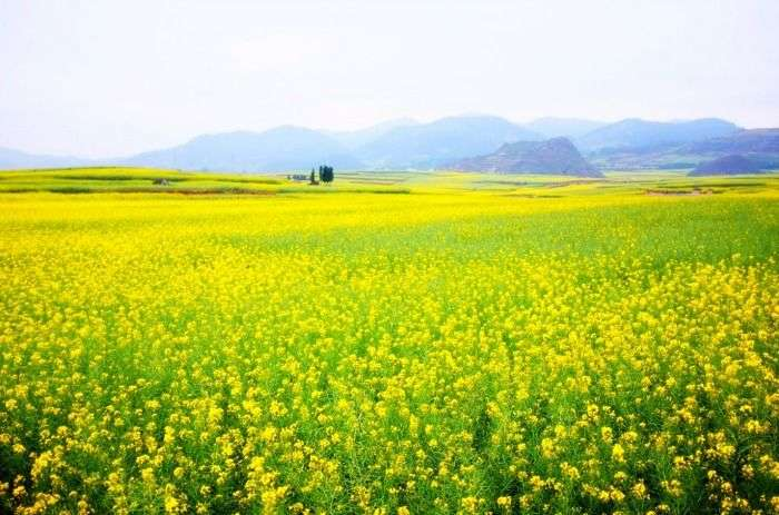 Lush widespread mustard fields in Punjab