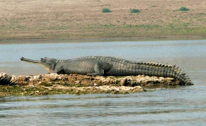 Crocodile in National Chambal Sanctuary