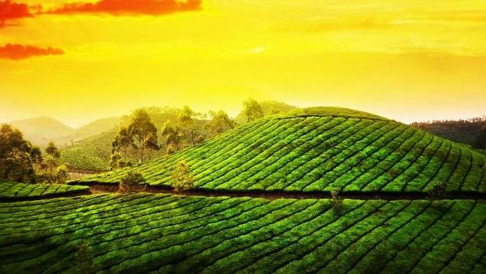 The sprawling tea plantations in Munnar