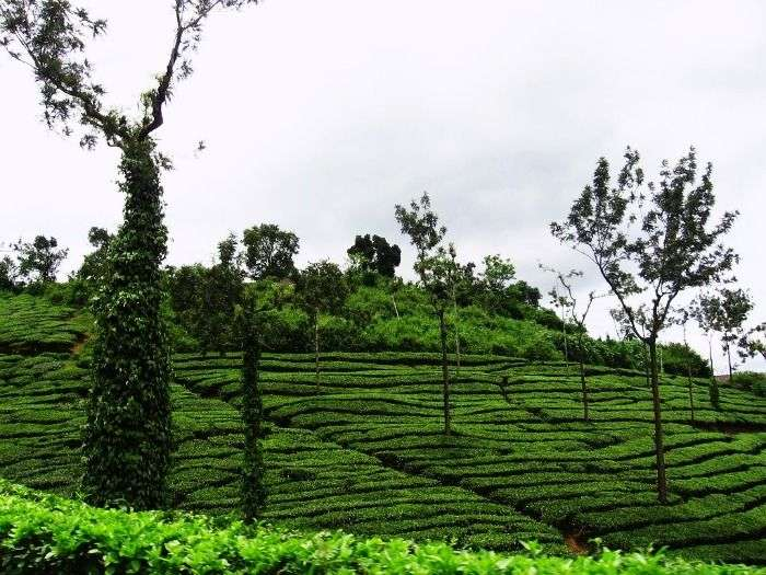 Tea gardens in Wayanad, Kerala