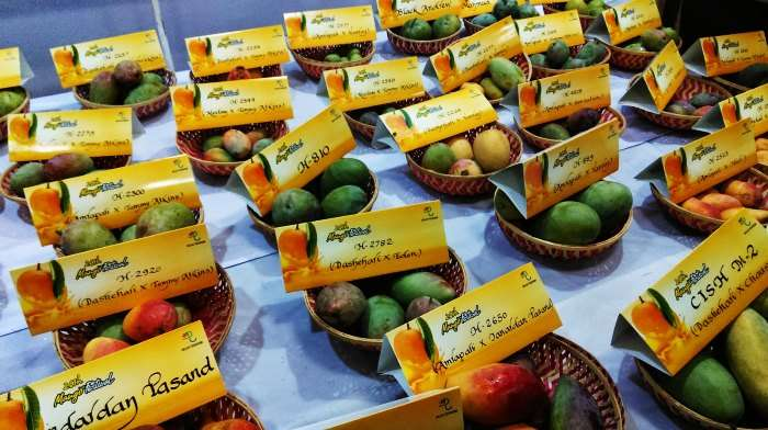 Taste the variety of the king of all tropical fruits - Mangoes