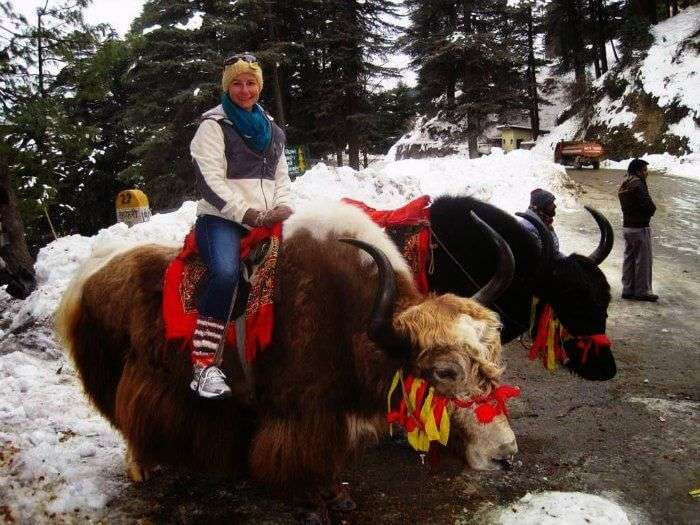 Ride a yak in Manali Wildlife Sanctuary