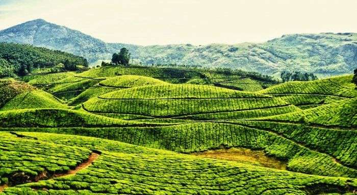 The green blanketed hills of Munnar