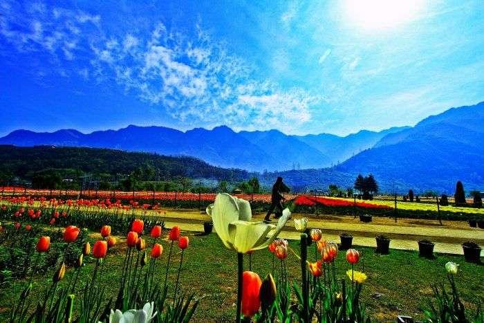 Tulip Gardens in Srinagar