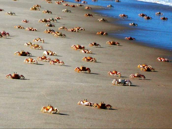 crabs on goa beach