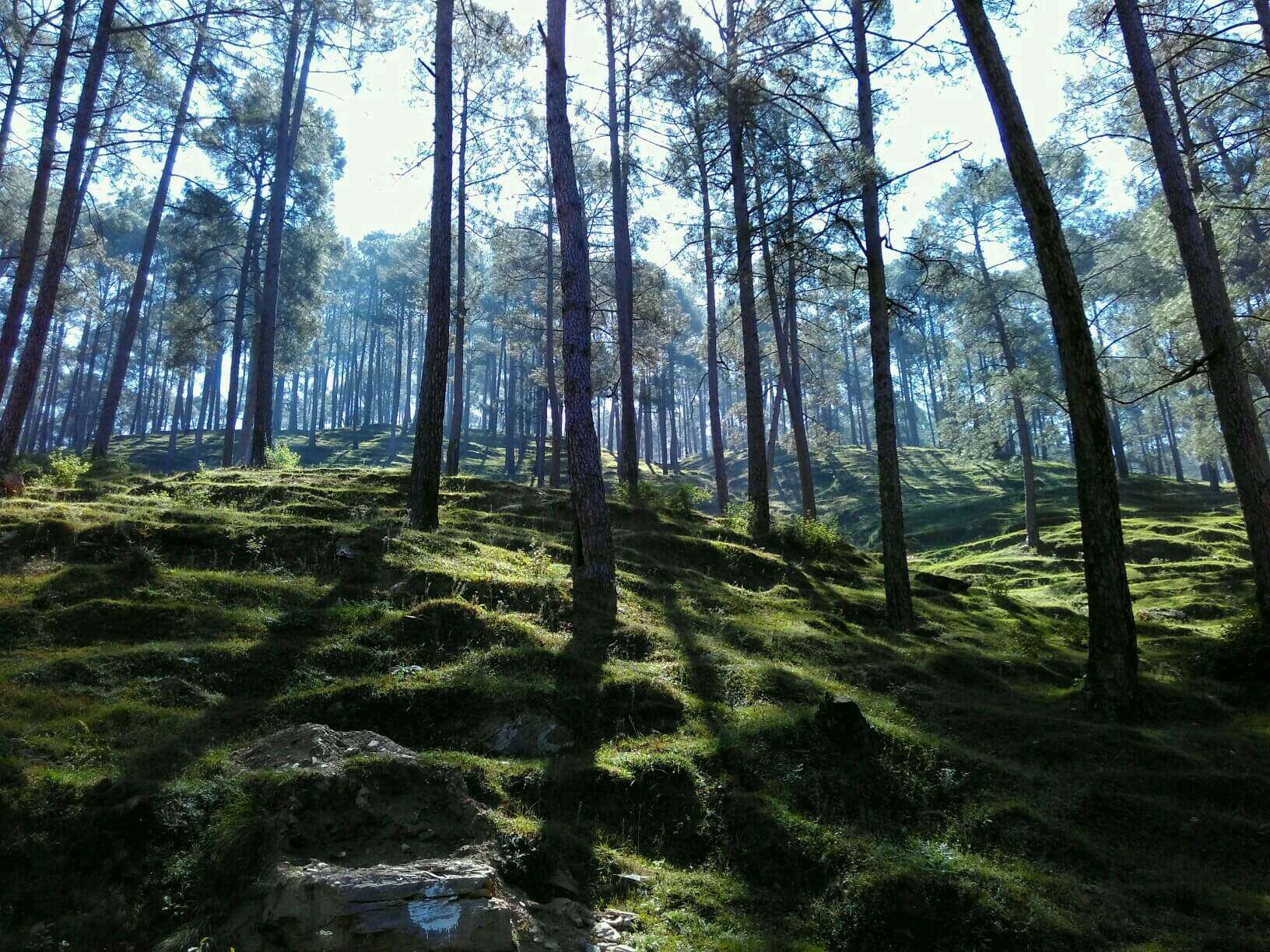 pine trees in Pangot