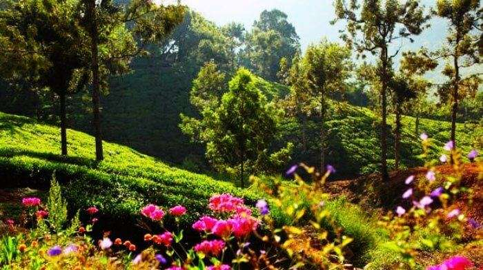 The tea gardens of Darang in Himachal