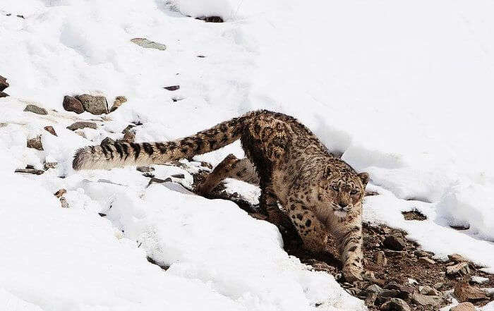 Spot the snow leopards in Hemis National Park in Jammu & Kashmir