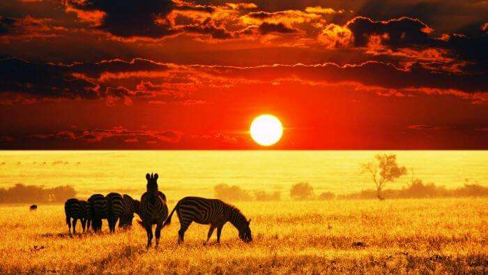 A herd of Zebras with the beautiful sunset backdrop in Africa