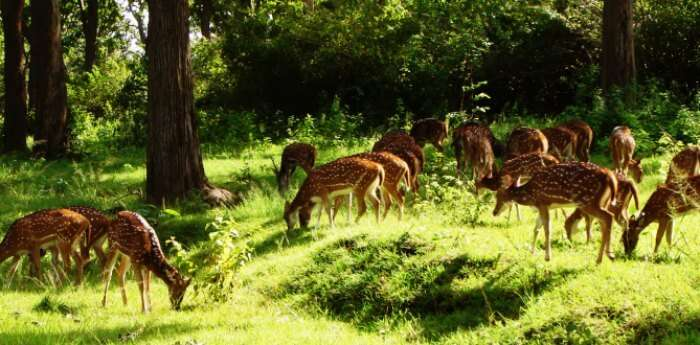 Deers in Mudumalai Wildlife Sanctuary
