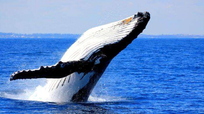 A huge whale having fun in Mauritian sea water