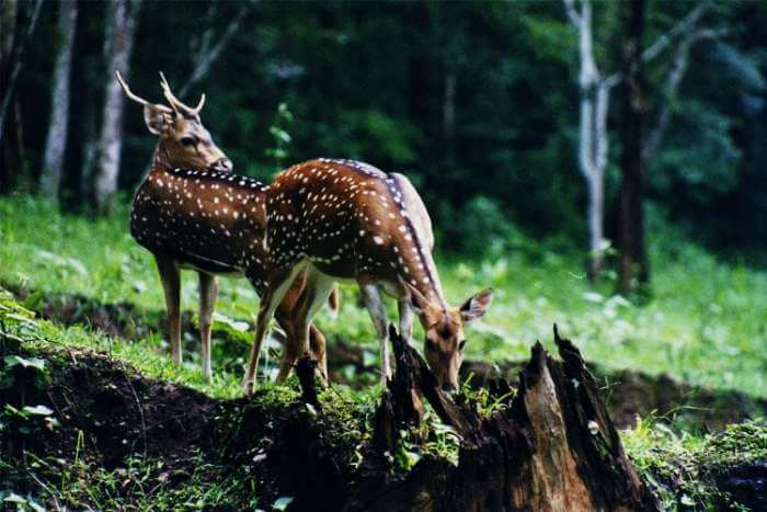 Deers in Mandovi-Zuari Wildlife Sanctuary
