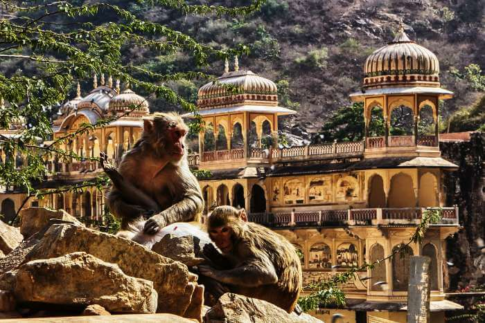 Two monkeys sitting around the famous Monkey Temple in Jaipur