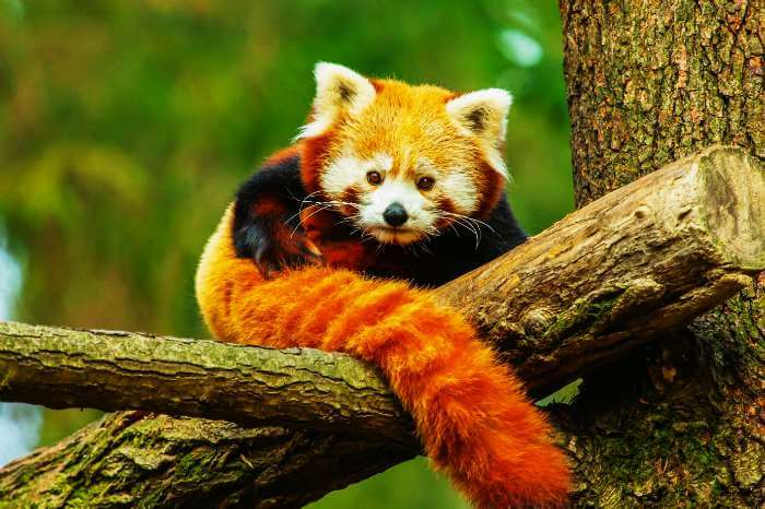 An endangered red panda in the forests of Sikkim