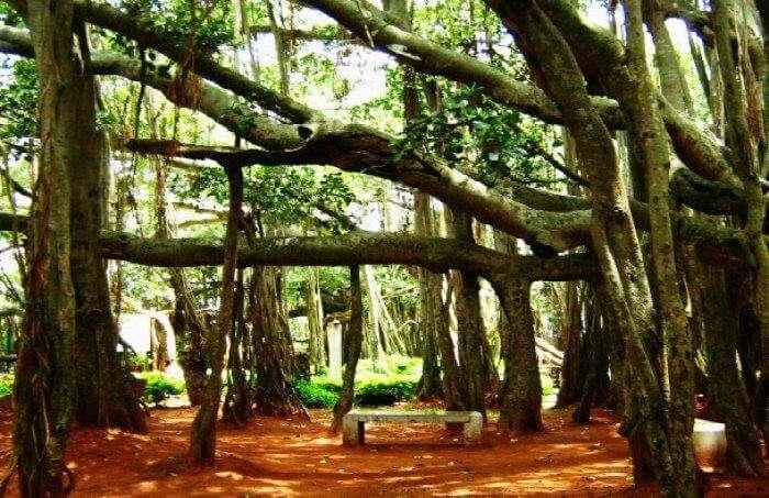 The-Great-Banyan-Tree-in-Kolkata