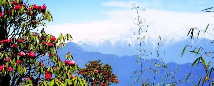 Varsey Rhododendron Sanctuary in Sikkim