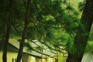 Camping tents amidst tall pine trees in Kangojodi