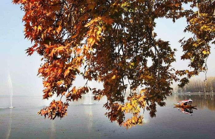 A view of the autumn chinar leaves in the background of Shikara and Dal Lake