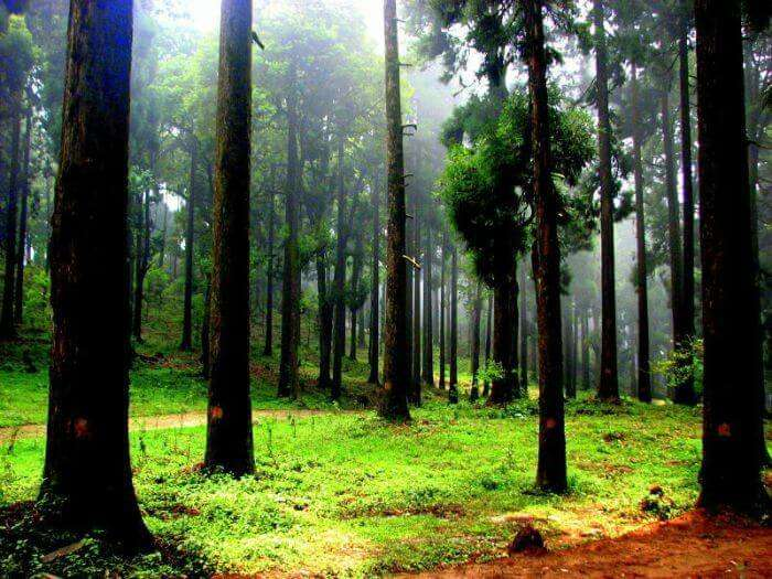 Lush green forest of Dow Hill in Kurseong