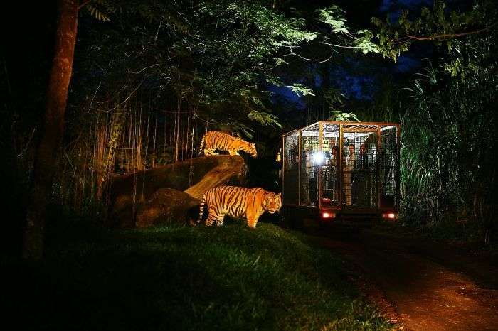Go in the wild with a night safari in Bali Safari and Marine Park