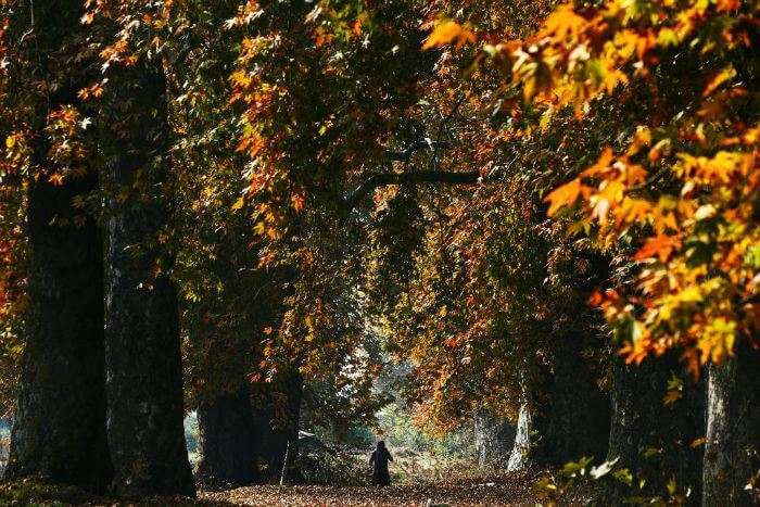 A woman walks among the maple trees in Srinagar