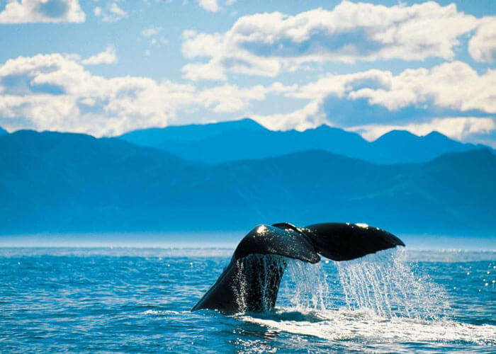A whale diving in the sea at Kaikoura is among the top places to visit in New Zealand