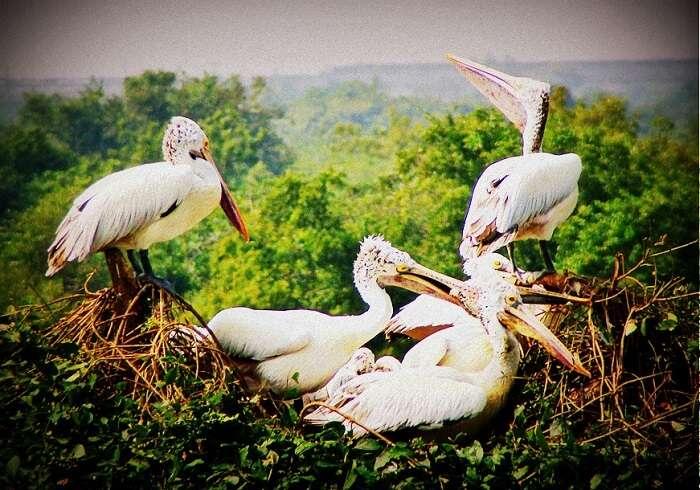 Birds inhabiting Nelapattu Bird Sanctuary