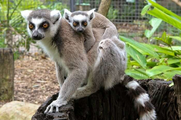 Ring-tailed lemurs - an adult and a baby - at Perth Zoo