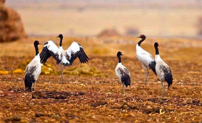Exotic black-neck cranes at Phobjikha Valley in Bhutan