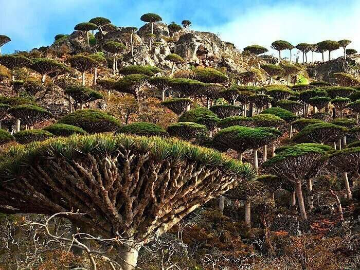 Dragon blood tree in Socotra Island