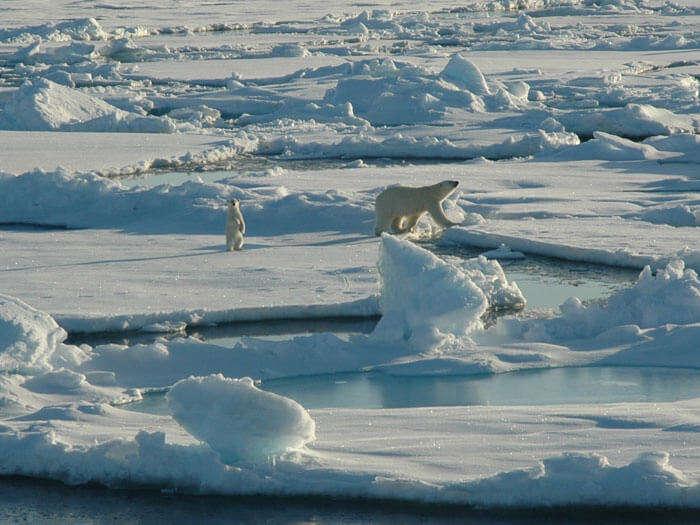 Polar bears playing at Northern Tundra in Alaska