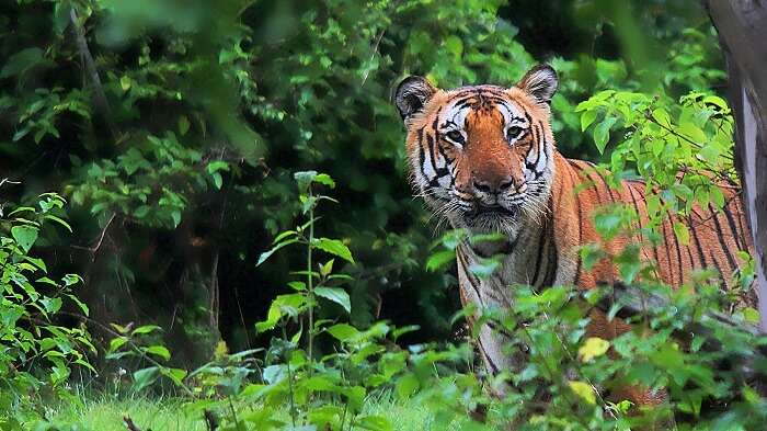 the Royal Bengal Tiger at the The Pench Tiger Reserve