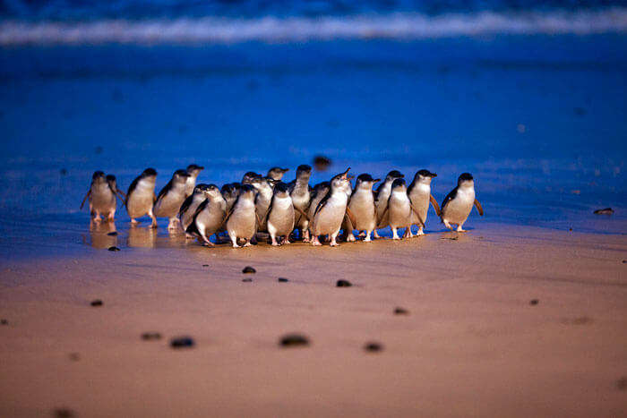 Penguin Parade at Phillip Island Nature Park