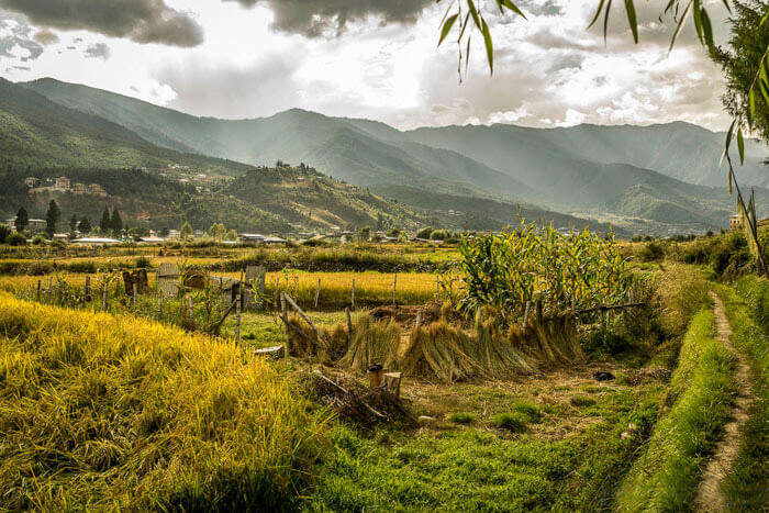 Golden rice fields in Bhutan at the time of harvesting in autumn season