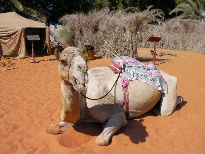 A camel resting inside the Heritage Village