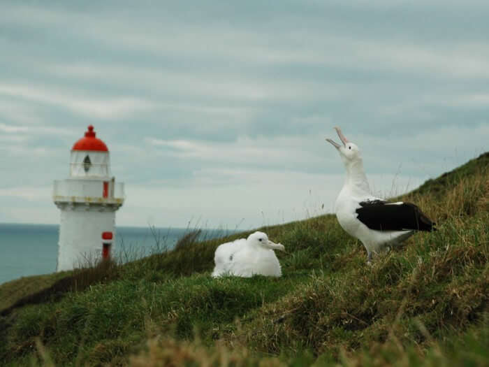 The mighty albatross at the Southern Royal Albatross Colony in Dunedin