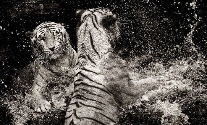 Two white tigers play at the Singapore Zoo