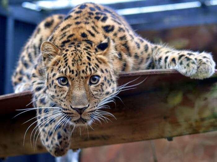 Young cub at Padmaja Naidu Zoological Park