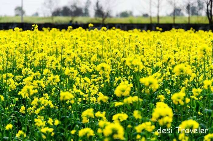 A beautiful shot of the sarso kie khet, inspired from DDLJ