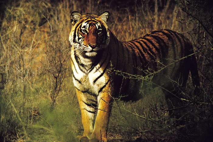 Meet the majestic tiger of Ranthambore Park on a road trip from Jaipur to Ramthambore