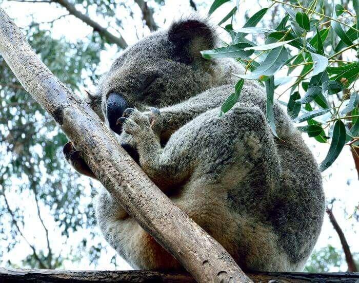 Adorable koala sleeping on a branch