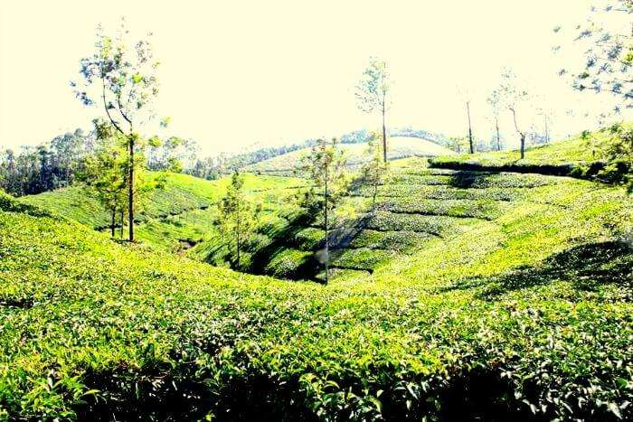 The beautiful view of the tea plantations in Munnar
