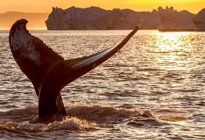 Tail of whale at Mirissa in Sri Lanka