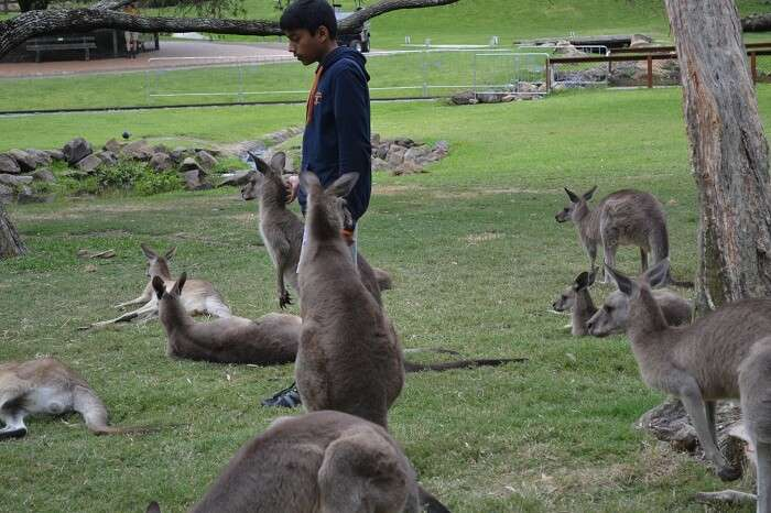 Surrounded Kangaroo at Currumbin