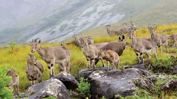 Rare animal species can be spotted at the Eravikulam National Park near Munnar