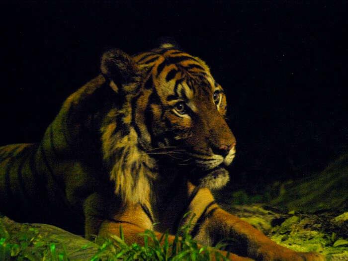 Closeup of Malayan Tiger in East Lodge Trail of Night Safari in Singapore