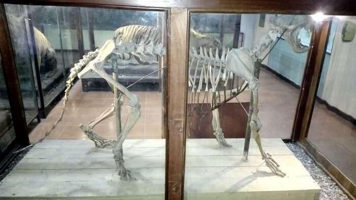 An animal's skeleton displayed at Corbett Museum