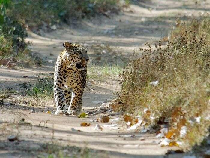 A leopard walks through the Jambughoda wildlife sanctuary